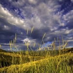 Reeds, morning sun on a blustery day, East Canyon, Wasatch Range, Utah